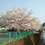 Sakura_Cherry Blossoms